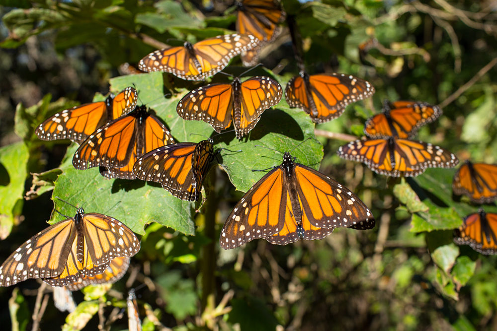 Reserva de la Mariposa Monarca, Patrimonio Natural de México