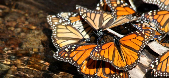 La Mariposa Monarca en Mexico