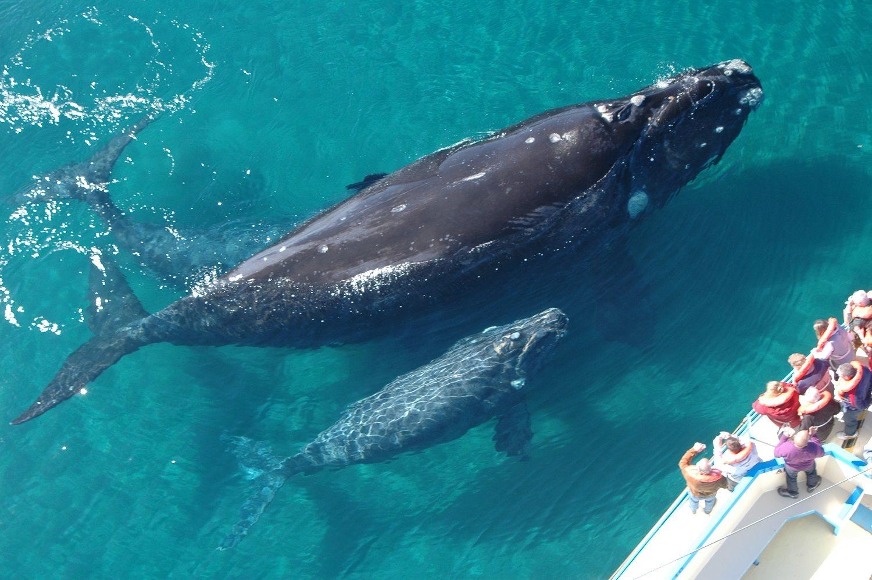 Resultado de imagen para avistamiento de ballenas en los cabos