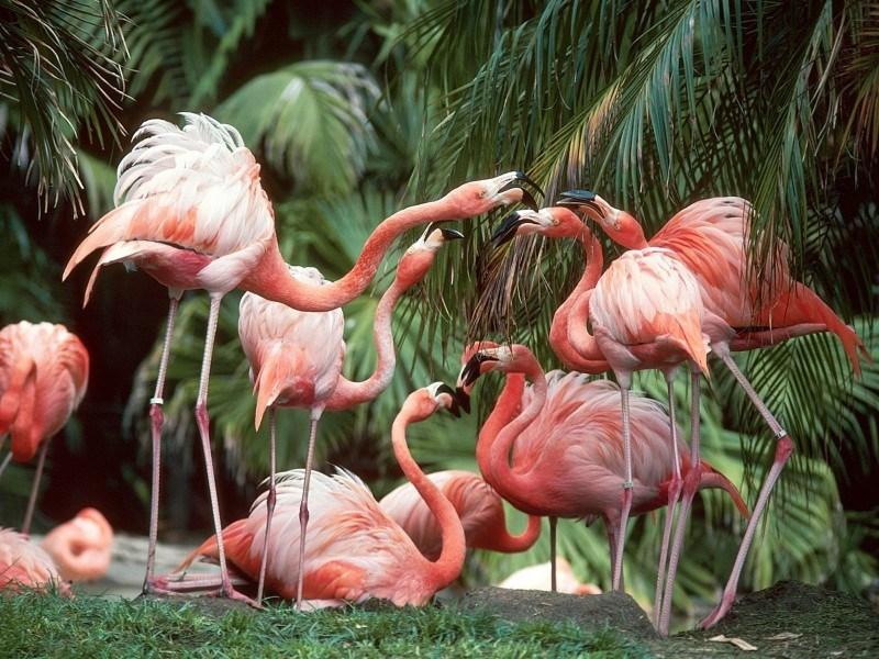 Q Comen Los Flamingos Los Flamencos Rosados ...